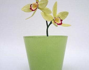 Sugar Cymbidium Orchid
