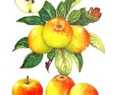 Apple Print - Rosemary Russet Apples - Kitchen Decor - Wall Hanging - Vintage 1993 Book Page - 9 x 8