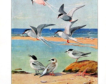 Terns - Arctic Tern, Roseate Tern, Forster's Tern, Common Tern - 1932 Book Page from Vintage Bird Book - 10 x 7
