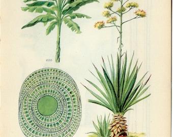 Danish Antique Botanical Print Banana, Abaca, Sisal Hemp Plant On One Side of the Page or Raffia Palm Tree on the Reverse