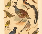 1901 Antique Lithograph of Birds, Cape Weaver, Paradise Whydah, Java Finch, Red Munia, Saffron Finch, Yellow Cardinal, Northern Cardinal