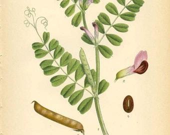 COMMON VETCH - Vintage 1901 Botanical Book Page