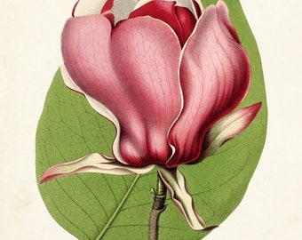 Magnolia Lenne Botanical Print, Giclee, Art Print, Antique Botanical, Wall Art, Illustration, Collage, Magnolia Print, Flower Prints, Pink