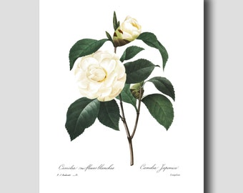 Camellia Print (White Wall Art, Botanical Decor) --- Pierre Redoute White Flower Print No. 15