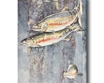 "Fly Fishing Art (1930s Fly Fishing Decor, Vintage Fish Print) --- ""Chum Salmon"" No. 290"