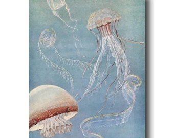 "Jellyfish Wall Art, Ocean Decor (Vintage Beach House Art, Office Wall Art) --- ""Rosebud Jellyfish"" No. 311"