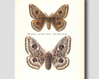 "Butterfly Print (Loft Decor, Home Office Wall Art) Vintage Butterfly Print --- ""Male & Female Emperors"" No. 130-2"