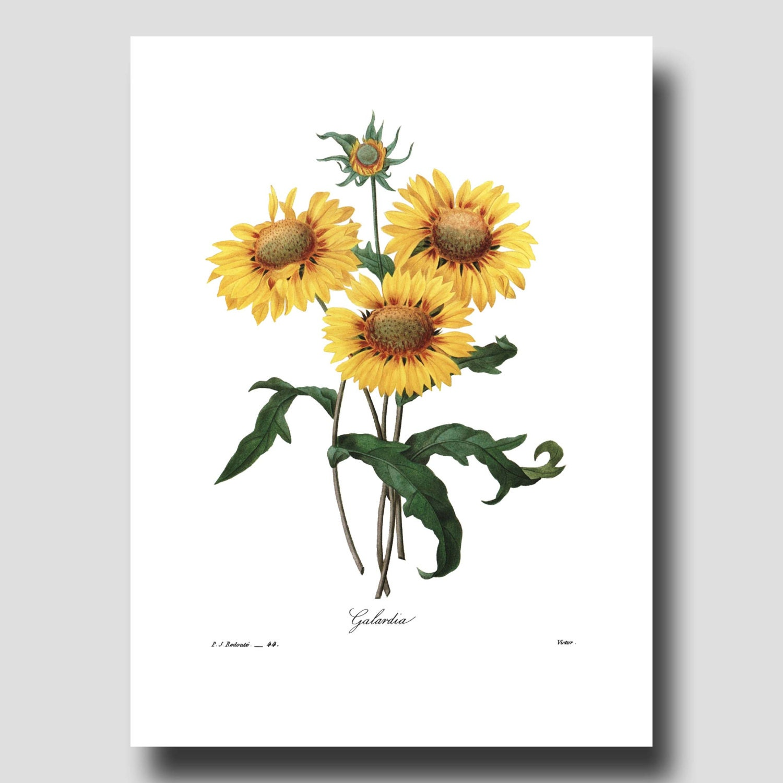 sunflower art print farmhouse wall decor by paragonvintageprints. Black Bedroom Furniture Sets. Home Design Ideas