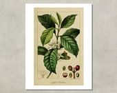 Arabica Coffee Plant Botanical Print, 1827 - 8.5x11 Reproduction Antique Print - also available in 11x14 and 13x19 - see listing details