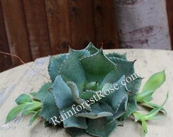 Agave hybrid Confederate Rose/Desert Rose Agave cactus succulent plant