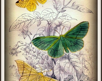 Butterflies Moths Victorian Insects 1800s - Print 8x10