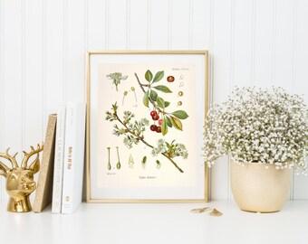 Cherry botanical illustration. Botanical print. Cherry illustration print. Home decor. Wall art. Kitchen decor. Cherry plant poster.