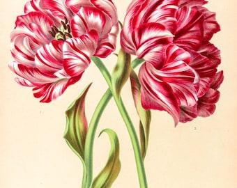 Tulip botanical print. Botanical print. Tulip print. Wall art print. Vintage botanical prints. Tulip Flower illustration print. Flowers red.