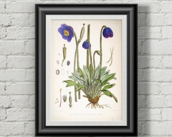 Botanical print. Botanical illustration.  Wall art print. Antique botanical print meconopsis.
