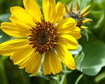 Golden Sunflower, Sunflowers, flowers, Garden, Garden lovers, cards, yellow, petals, leaves, Tuscan, Wine box, wall art, decor, gifts,