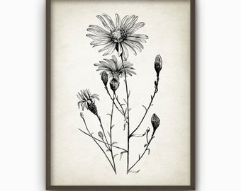 Aster Flowers Antique Botanical Print - Vintage Home Decor - Wall Art Poster (AB20)
