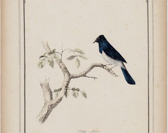 1910 Rare edwardian blue bird  print