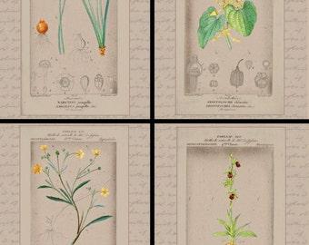 Botanical Prints-DIY Instant Download for Birthwort, Daffodil, Spider Orchid & Buttercup-Home Decor, Wall Decor, Art Prints, Vintage Prints