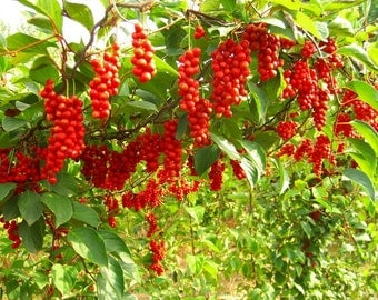 Rare Schisandra chinesis vine - 5 seeds - UK SELLER