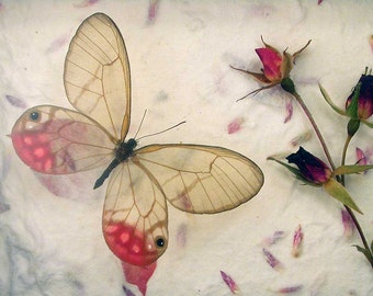 Real Framed Butterfly - Pink Glasswing - Cithaerias merolina