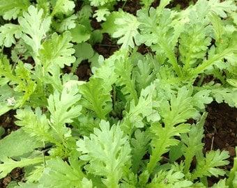 Chrysanthemum Seeds, Tan O, Tangho, Shungiku, organic greens