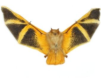 Taxidermy Real Bat   Kerivoula Picta Painted Specimen