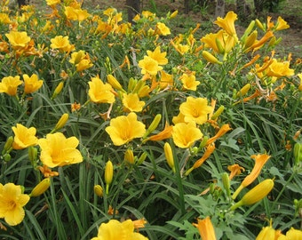 New Home Garden Plant 20 Seeds Real DAYLILY Hemerocallis Fulva PERENNIAL Vegetable Seeds