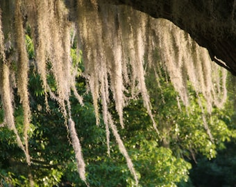 Live Spanish Moss, Great for any decor! free shipping :)