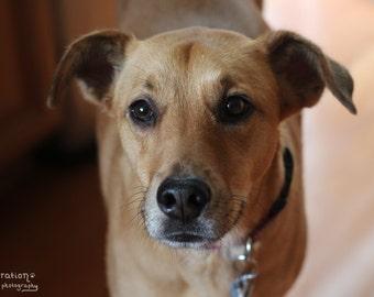 Beautiful Brown Eyes - Dog Photography - Yellow Dog - Mixed Breed Dog - Mutt - Dog Art - Dog Decor - Dog Print -  Dog Photo