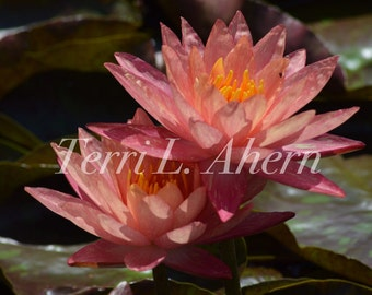 Nature Photograph - Water Lily 4