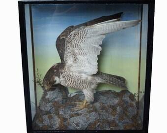 Victorian Taxidermy bird of prey Peregrine Falcon