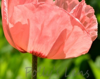 Pink Poppy Photograph, Flower Photography, Fine Art Photo, Home Decor