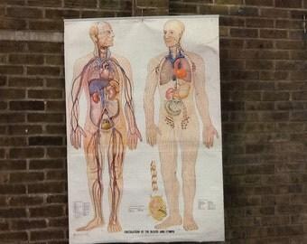 Vintage Science Poster  'Circulatory System'