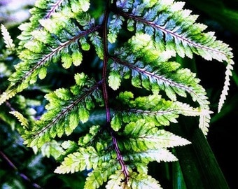 Original Fine Art Digital Photograph Giclee Print:  Painted Fern