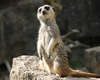 Canvas photo art photography Meerkat nature animals