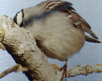White-crowned, Sparrow, Song Bird, Striped Head, Perching Bird, Metal Print, Photograph, Photo Print, One of a Kind