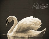 Sepia Swan photo, Feather photo. Rustic art, Nature art, London Photo, Bird photo, Bird Art, Sepia art, sepia photo
