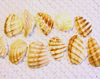 11 Large Pendant Size Scallop Shell Wing Fragments (SH75) Mediterranean sea shell shards, Ridged Seashells