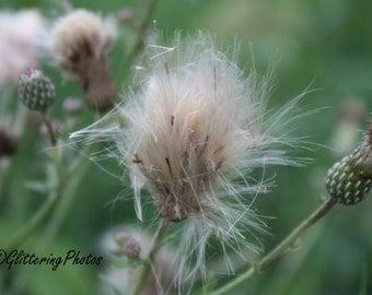 Thistle, Seed Head, Woodland, Fine Art, Photography, Print,  8 x 10, Glossy