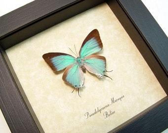 Real Framed Pseudolycaena Marsyas Female Sky Blue Hairstreak Butterfly 8011F-A