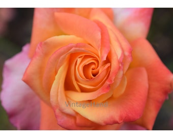 Rose Digital download / Salmon Pink flower / girls room / nature / coral floral photo / garden / Photograph / Art download / Home Decor