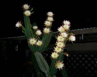 Cactus Plant, Night Blooming Cereus, Queen Of The Night