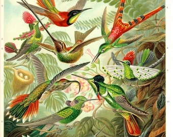 Hummingbirds, Illustration,1898, Archival Quality Print