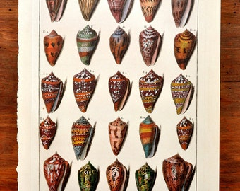 Shell Illustration Book Plate XVII Cones Print Beach House Cottage Decor