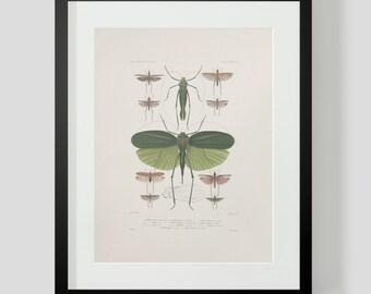 Vintage Grasshopper Print