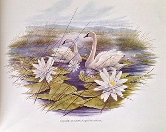 Wildlife15x12 Swan Print J Lockhart An Original Book Page Illustration from Vintage 1967 Book