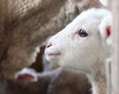 be still - fine lamb photography - farm fresh cards