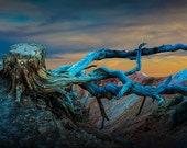 Pine Tree Stump Roots at Sunset out West No.0723 - A Western Nature Landscape Photograph