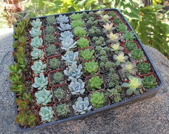 """50 Wedding collection Beautiful Succulents in their plastic 2"""" Pots great as Party Gift WEDDING FAVORS echeverias rosettes~"""
