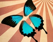 Real Glossy Blue Swallowtail Papilio Ulysses Butterfly Wings